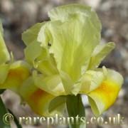 Iris barnumae urumiensis