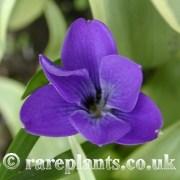 Tecophilaea cyanocrocus Violacea