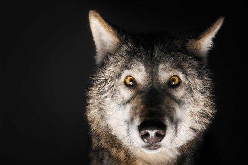 Medium Of Female Wolf Names