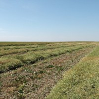 Canola School: Determining Disease Impact Before Harvest