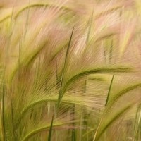 The Potential Role of Pyroxasulfone in Managing Foxtail Barley