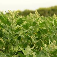 Working Quinoa into a Prairie Crop Rotation