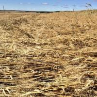 Would You Straight Cut or Swath this Pancaked Wheat Field?