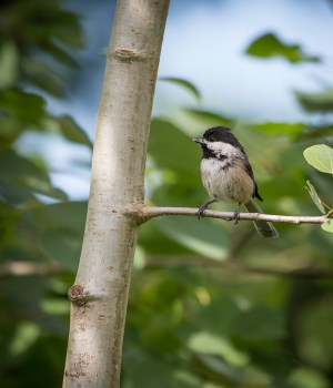chickadee on aspen tree