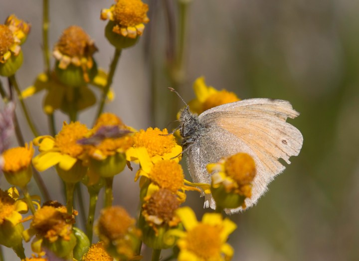 Common ringlet (Coenonympha tulle)