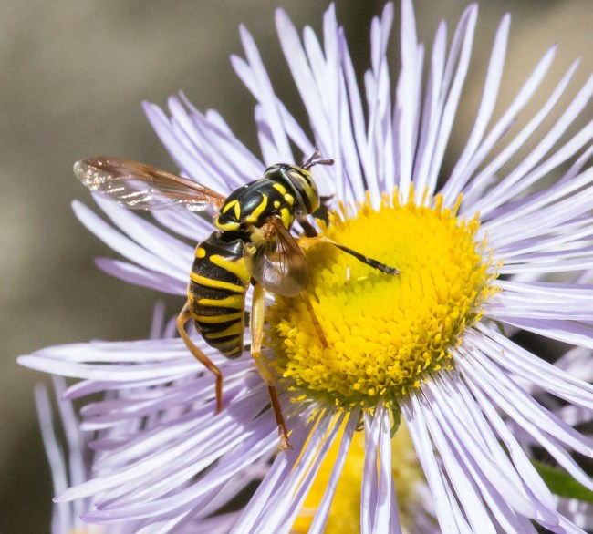 Syrphids in the genus Spilomyia often mimic wasps, with vivid yellow and black patterns and modified antennae.