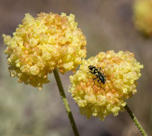 The adult ornate checkered beetle (Trichodes ornatus) feeds on flowers such as wild buckwheat (Eriogonum spp.), transferring pollen from anther to stigma.