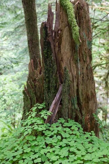 dead wood (stump)