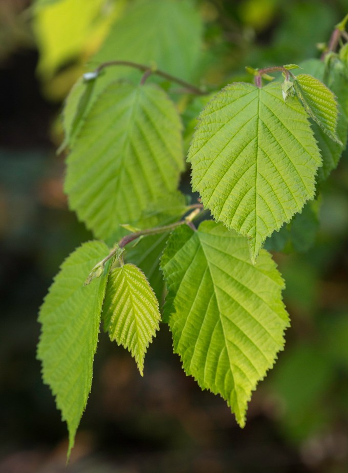 Corylus cornuta var. california (leaves)