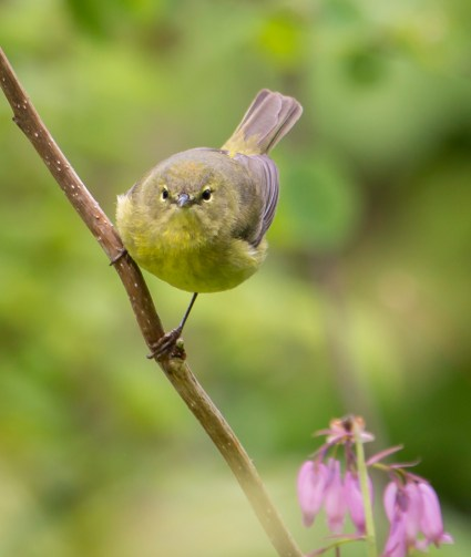 Yellow warbler + Dicentra formosa