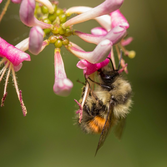 Many pollinators are in steep decline and in dire need of protection. A black-tailed bumble bee (Bombus melanopygus) feasts on hairy honeysuckle blossom (Lonicera hispidula).