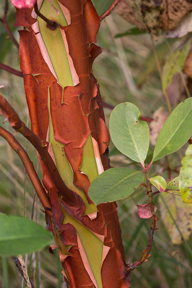 Arbutus menziesii bark