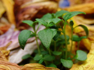 thyme is antiviral against herpes and other viruses