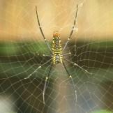 Orb-weaver spider spotting