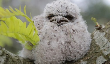 tawny frogmouth, bird, Australia, Australian Wildlife, cute, fluffy bird, funny bird, owl look-alike, wildlife, beautiful, adorable, lovely