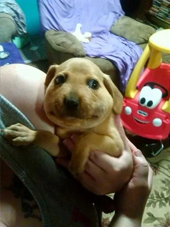 opuchnięta twarz szczeniaka ukąszony przez pszczołę
