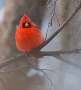 cardinal in fog