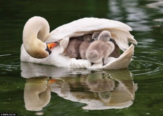 swan covering young with wing
