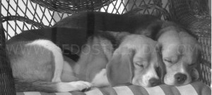 my-beagles-with-watermark