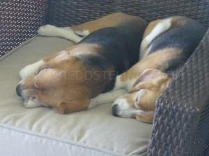 my-beagles-with-wm