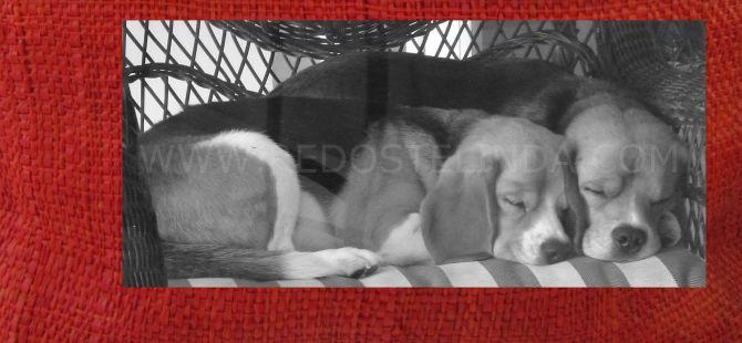 my beagles redostelinda.com