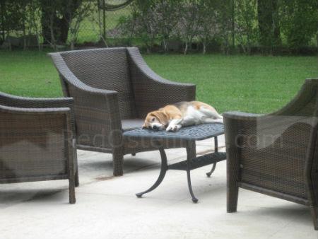 My beagle sleeping RedOstelinda.com