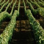 Vineyards at the ranch