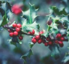 Pixabay-holly-plant-1858614_1920