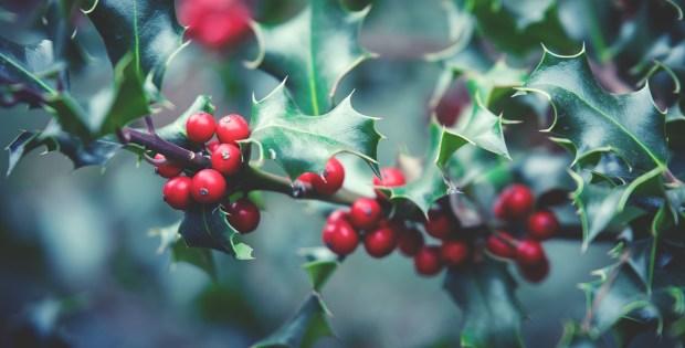 Pixabay-holly-plant-1858614_1920