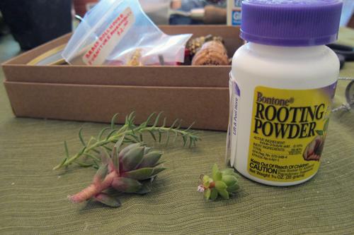 Rooting Mini Plants
