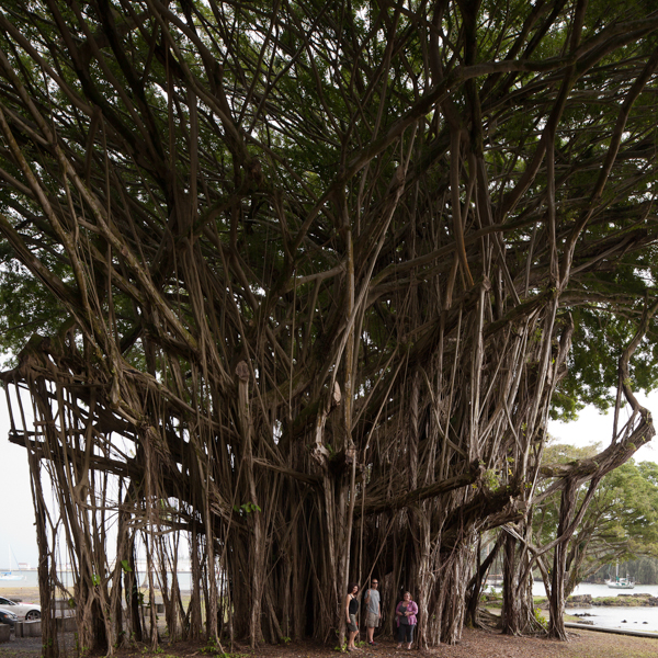 The amazing banyon trees on the Hilo side of the island are amazing!