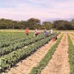 Los productores advierten que el problema en el Valle de Quíbor no son las tierras ociosas, sino la falta de agua.