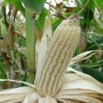 Se espera la llegada de más de 1,5 millones de toneladas de maíz blanco porque la cosecha local no alcanza.