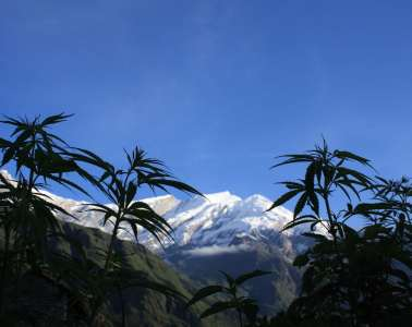 Cannabis_plants_in_front_of_the_Dhaulagiri_summit