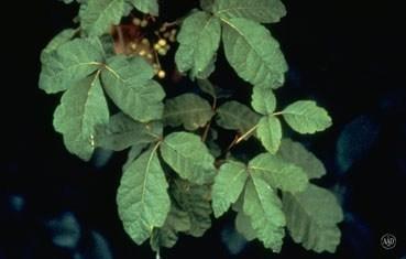 poison-oak-plant