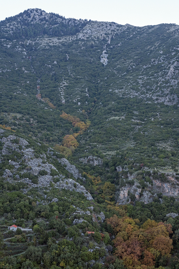 A river of Plane Trees, in full autumn colour, flowing through the pine and fir. The Planes peter out at about 950m. Taygetos, 05/11/15.
