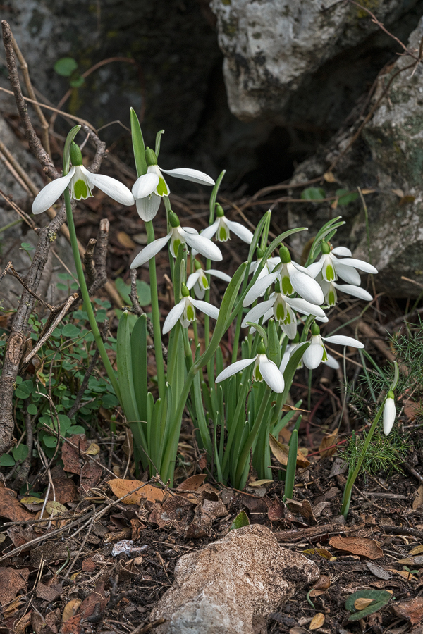 The tallest clones were more than twice as tall as the shortest. Galanthus cilicicus, near Mersin, 18/12/15.