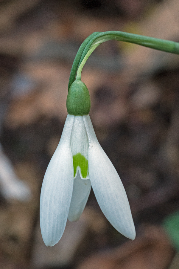 Variation in flower shape and inner segment markings in Galanthus reginae-olgae. Bistrica River, 30/11/15.