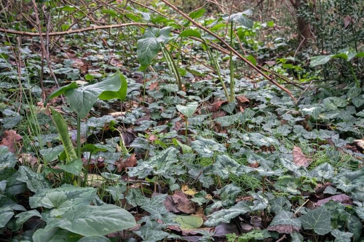 Galanthus reginae-olgae habitat. Bistrica River, 30/11/15.