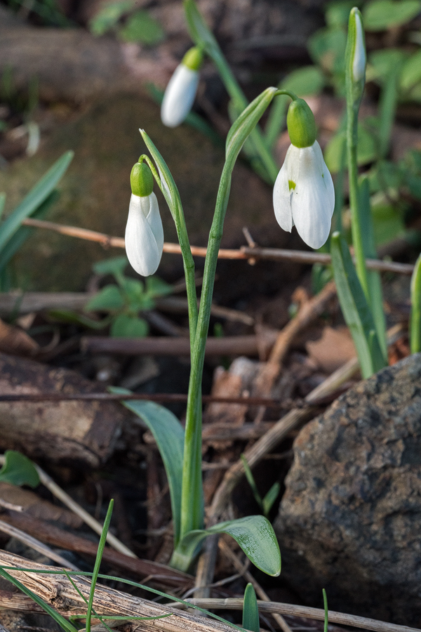 Twin scapes. Note also glaucous surface abrasion. Galanthus samothracicus, near Ano Meria, Samothraki, 19/1/16.