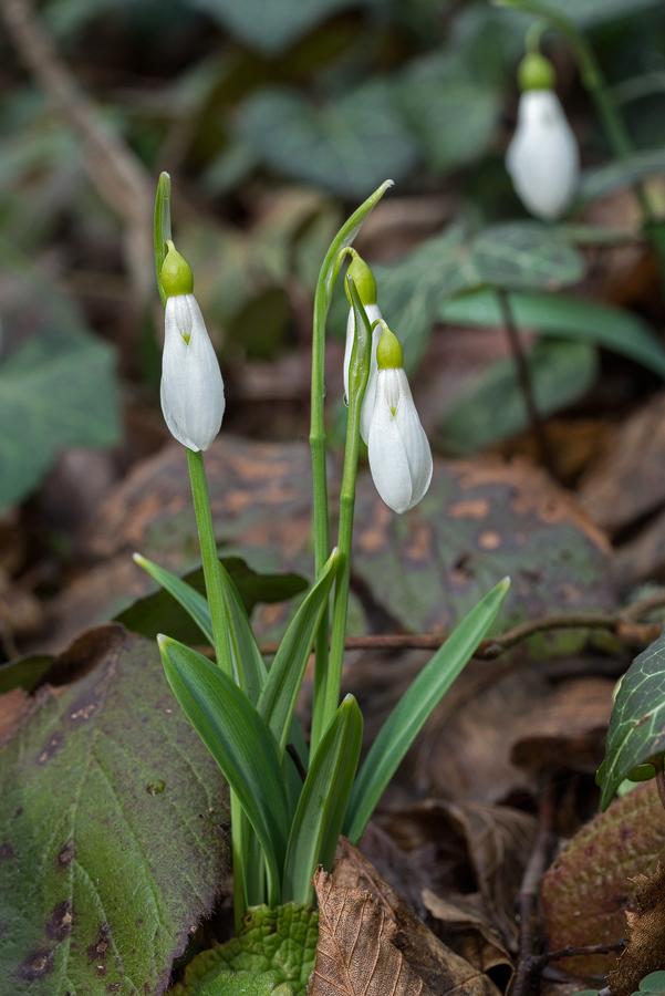 Galanthus plicatus. Lake Abant, 4/3/16.