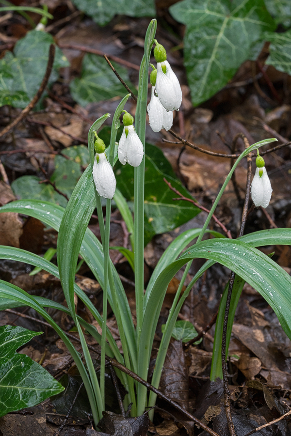 An example of Galanthus plicatus subsp. byzantinus with twin scapes and typically erect, then spreading, rather narrow leaves.