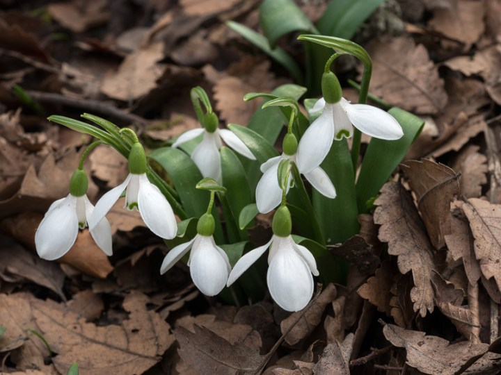 A small clump of Galanthus transcaucasicus. Most occurred as single bulbs or twos and threes. Southern Azerbaijan, 17/2/16.