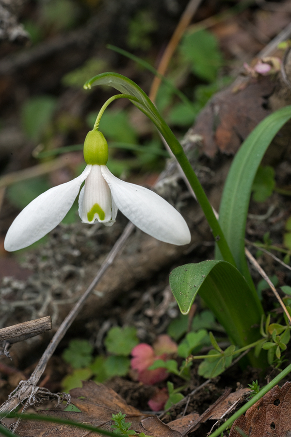 Galanthus transcaucasicus. Variation in flower shape and inner segment marking. Southern Azerbaijan, 17/2/16.
