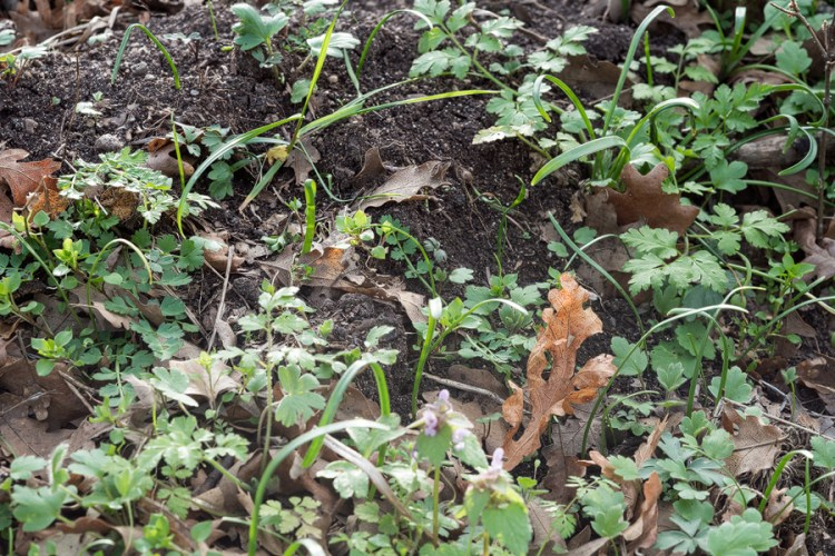 Seed germination and young seedlings of Galanthus trojanus, 8/3/16, NW Turkey.