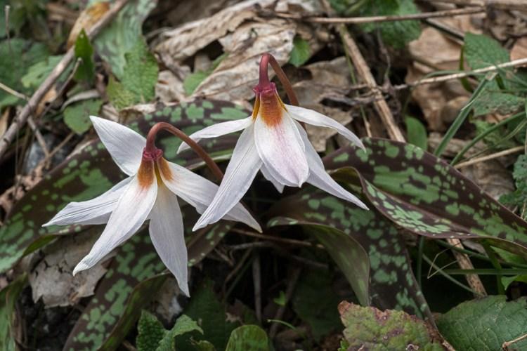 Erythronium caucasicum, Abkhazia, 4/4/16.