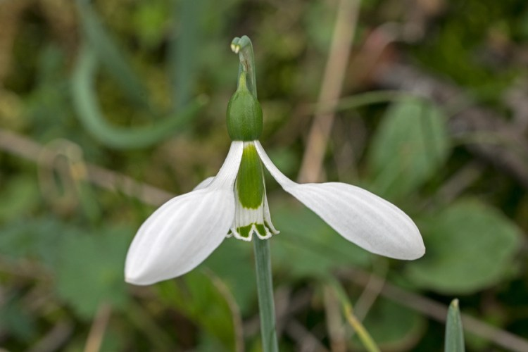 Galanthus gracilis, near Izmir, Turkey, 9/3/16.