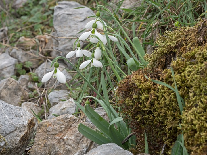 Galanthus gracilis, near Izmir, Turkey, 9/3/16.  Variation in flower shape and inner segment markings.