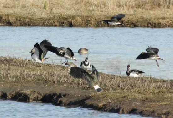 Lapwings landing