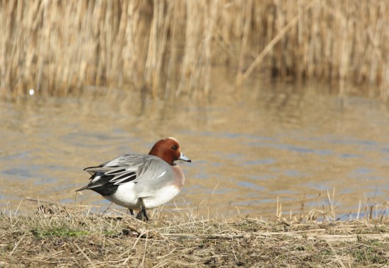 Male wigeon - these make a pleasing whistling sound